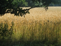 Wheat on the common
