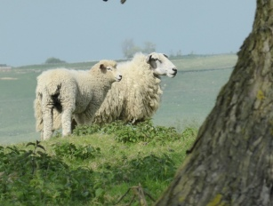 Ewe and lamb by Thornsdale pond
